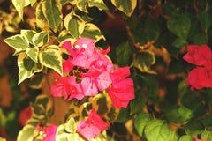 Bougainvillea púrpura Imagen de archivo