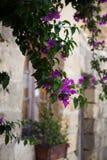Bougainvillea púrpura Imagen de archivo libre de regalías
