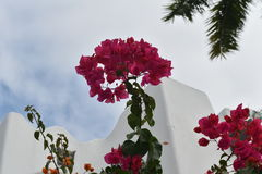Bougainvillea and Palm Trees Royalty Free Stock Images