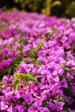 Bougainvillea paper flower Royalty Free Stock Photo
