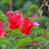 Bougainvillea or Paper flower Stock Image