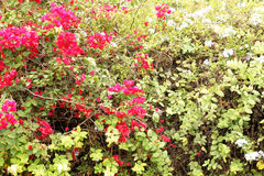 A bougainvillea paper flower Royalty Free Stock Photos