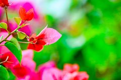 Bougainvillea, Paper Flower blooming after of rain several days. Colorful garden background stock image