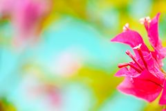 Bougainvillea, Paper Flower blooming after of rain several days. Colorful garden background stock photography