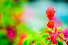 Bougainvillea, Paper Flower blooming after of rain several days. Colorful garden background royalty free stock photography