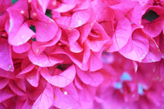 Bougainvillea paper flower in colorful color Royalty Free Stock Photos
