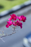 Bougainvillea, Paper flower. Perennial shrub type semi-trailer Size from small shrubs to large trees. The stems have thorns royalty free stock photos