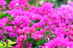 Bougainvillea, Paper flower Royalty Free Stock Image