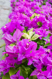 Bougainvillea, Paper flower Stock Images