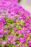 Bougainvillea, Paper flower Royalty Free Stock Photography