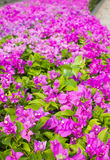 Bougainvillea, Paper flower Stock Photos