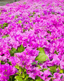 Bougainvillea, Paper flower Stock Image