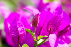 Bougainvillea paper flower selective focus with shallow depth of Royalty Free Stock Photos