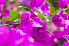 Bougainvillea paper flower selective focus with shallow depth of Stock Photo