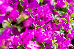 Bougainvillea paper flower selective focus with shallow depth of Royalty Free Stock Photography