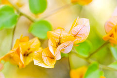 Bougainvillea or paper flower Royalty Free Stock Images