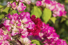 Bougainvillea paper flowers Stock Images