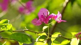 Bougainvillea or paperflower stock video