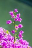 Bougainvillea pappers- blomma Arkivfoto