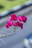 Bougainvillea pappers- blomma Royaltyfria Foton