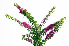 Bougainvillea pappers- blomma, på trädet Royaltyfria Bilder