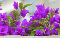 Bougainvillea peaking over a wall Stock Photos