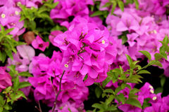 Bougainvillea. It is a perennial shrub type semi-trailer. Sizes range from small shrubs to large shrub Royalty Free Stock Image
