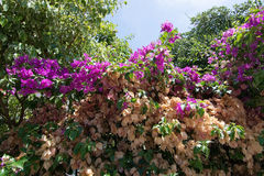 Bougainvillea phases Royalty Free Stock Image