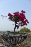 Bougainvillea. At Phetchburi province thailand. People may known about Kho Wang the old palace in thailand Stock Images
