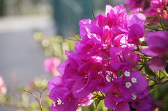 Bougainvillea. Photo with the image of pink bougainvillea Royalty Free Stock Images