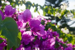 Bougainvillea. Photo with the image of pink bougainvillea Stock Images