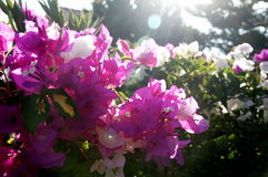 Bougainvillea. Photo with the image of pink bougainvillea Royalty Free Stock Photo