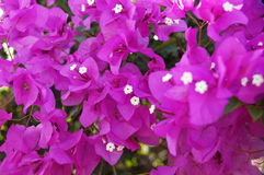 Bougainvillea. Photo with the image of pink bougainvillea Royalty Free Stock Photos