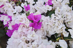 Bougainvillea. Photo with the image of pink and white bougainvillea Stock Image