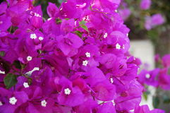 Bougainvillea. Photo with the image of pink and white bougainvillea Royalty Free Stock Photo