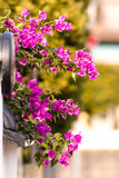bougainvillea piękny kwiat Fotografia Royalty Free