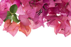 Bougainvillea with pink blossoms isolated on white Royalty Free Stock Photos