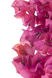 Bougainvillea with pink blossoms isolated on white Stock Photo