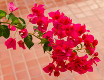 Bougainvillea pink Royalty Free Stock Images