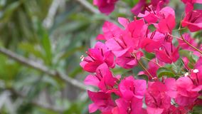 Bougainvillea pink color with wind. Beautiful bougainvillea pink color with wind, Naturally beautiful flowers in the field stock video footage