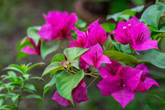 Bougainvillea. Pink bougainvillea flower with green leaf, front focus blurred background Royalty Free Stock Photos
