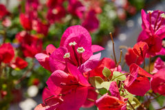 Bougainvillea pink flowers in Mediterranean Royalty Free Stock Images