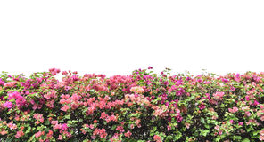 Bougainvillea. Pink flowers wall isolated on white background Royalty Free Stock Photos