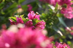 Bougainvillea. Pink bougainvillea in the garden Royalty Free Stock Photography