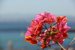 Bougainvillea. Pink Bougainvillea growing in the city state of Gibraltar, UK stock photo