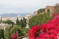 Bougainvillea. Pink Bougainvillea growing over a wall overlooking the city of Malaga, Spain stock photo