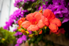 Bougainvillea pink and red flowers Royalty Free Stock Images