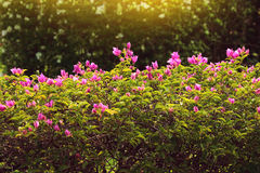 Bougainvillea in pink, shiny flowers with green leaves Royalty Free Stock Images