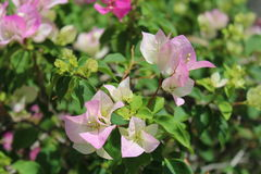 Bougainvillea. Pink and white bougainvillea flowers blooming Stock Images