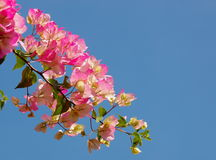 Bougainvillea pink Royalty Free Stock Image